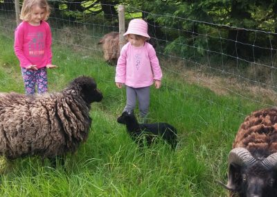 Nos moutons d'ouessant